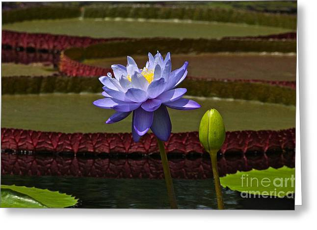Victoria Cruziana Greeting Cards - Tropical Water Lilies Greeting Card by Byron Varvarigos