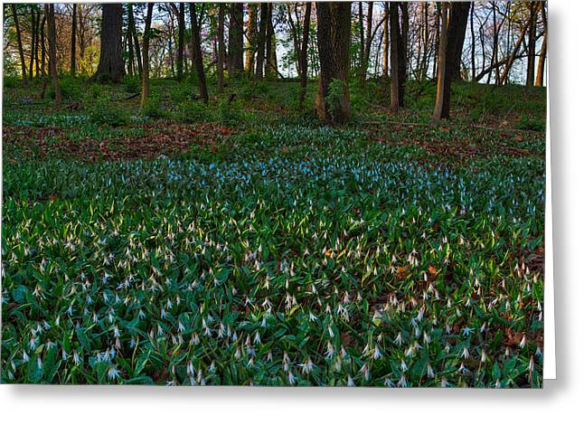 Trout Lilies On Forest Floor Greeting Card by Steve Gadomski