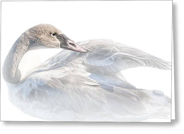 Water Fowl Greeting Cards - Trumpeter Cygnet Swan on White Background No.013 Greeting Card by Randall Nyhof