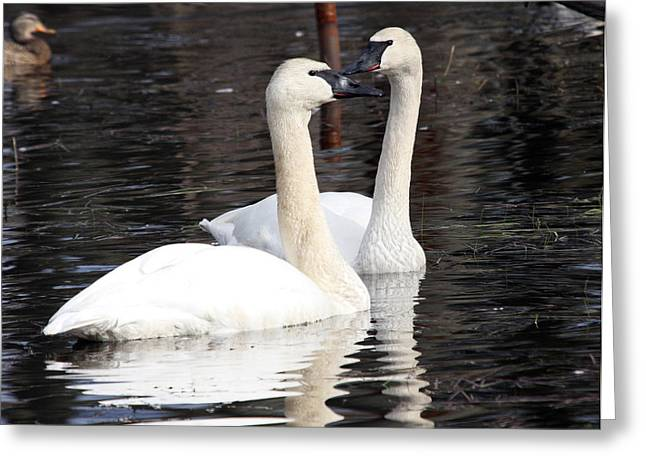 Pond In Park Greeting Cards - Trumpeter Swan - 0003 Greeting Card by S and S Photo