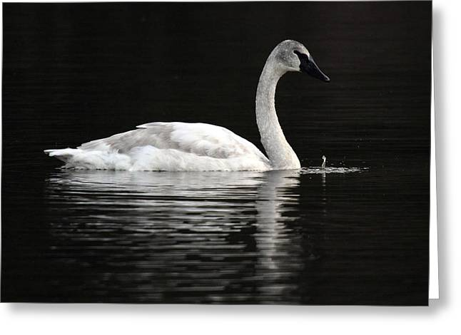 Mile One Greeting Cards - Trumpeter Swan at One mile lake Pemberton B.C Canada Greeting Card by Pierre Leclerc Photography