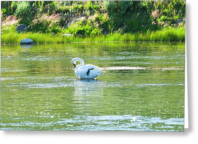Grand Tetons Greeting Cards - Trumpeter Swan Greeting Card by Greg Norrell
