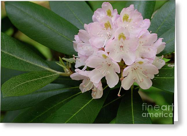 High Virginia Images Greeting Cards - Tucker County Rhododendron Greeting Card by Randy Bodkins