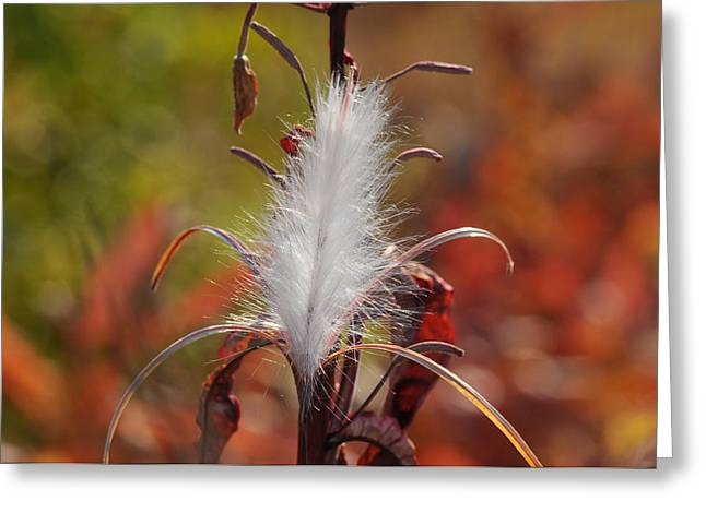 Plant Physiology Greeting Cards - Tufted Seeds Of The Fireweed Plant Greeting Card by George F. Herben