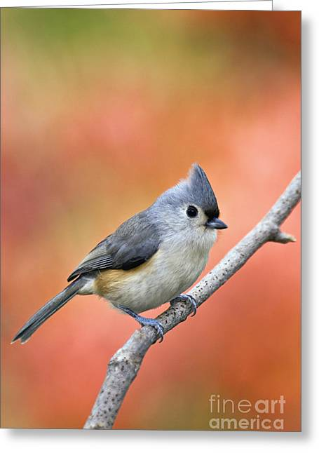 Indiana Autumn Greeting Cards - Tufted Titmouse - D007808 Greeting Card by Daniel Dempster