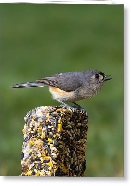 Tufted Titmouse Greeting Cards - Tufted Titmouse on Treat Greeting Card by Bill Tiepelman