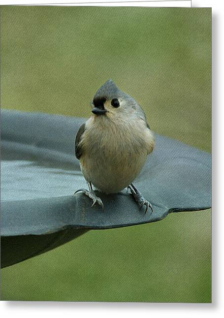 Gray Bird Greeting Cards - Tufted Titmouse Greeting Card by Sandy Keeton