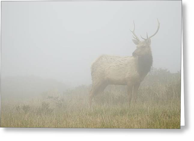 Tule Elks Greeting Cards - Tule Elk Bull In Fog Point Reyes Greeting Card by Sebastian Kennerknecht