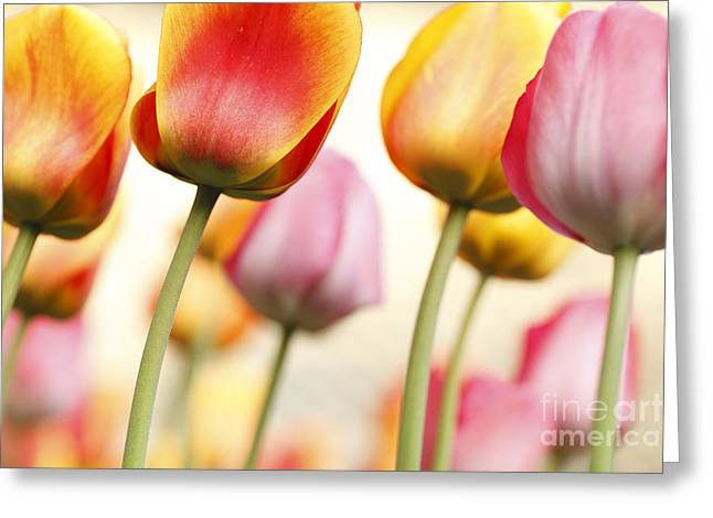 Tulipa Greeting Cards - Tulip - Impressions 1 Greeting Card by Martin Williams