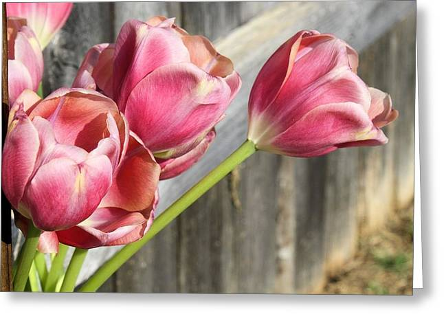 Lynnette Johns Greeting Cards - Tulip Fence Greeting Card by Lynnette Johns