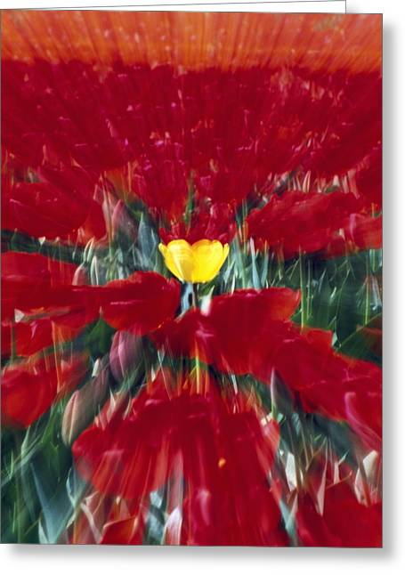 Woodburn Greeting Cards - Tulip Field Zoom Effect Greeting Card by Natural Selection Craig Tuttle