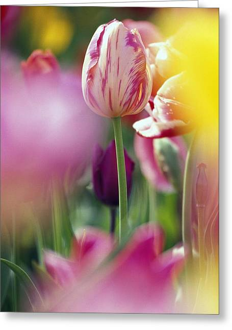 Tulip Flower Greeting Card by Natural Selection Craig Tuttle