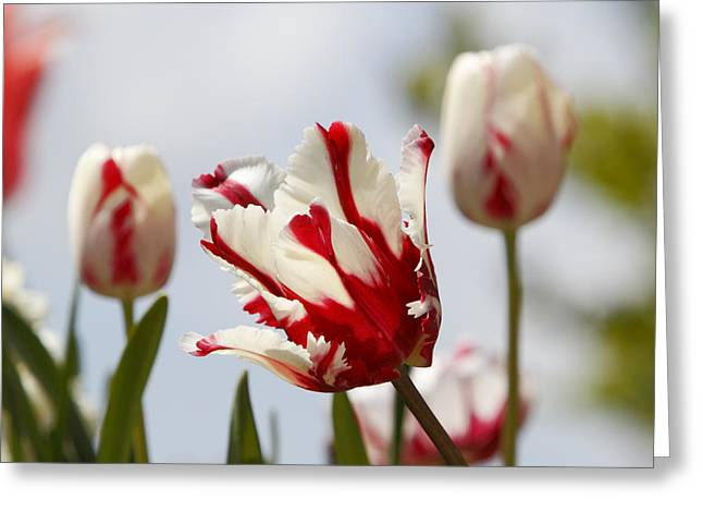 Fuad Azmat Greeting Cards - Tulip Greeting Card by Fuad Azmat
