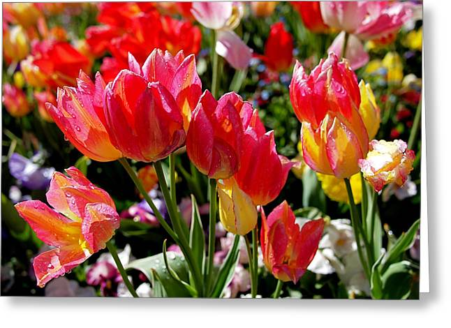 Red Art Greeting Cards - Tulip Garden Greeting Card by Rona Black