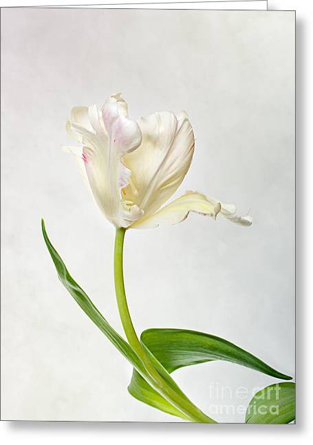 Tulipa Greeting Cards - Tulip Greeting Card by Nailia Schwarz