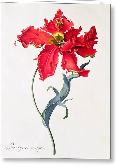 Pre-19th Greeting Cards - Tulip Perroquet Rouge Greeting Card by Georg Dionysius Ehret
