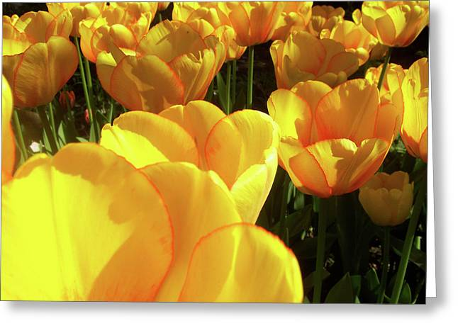 Svadhisthana Greeting Cards - Tulip Greeting Card by Ramon Labusch