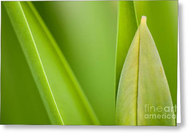 Fresh Green Greeting Cards - Tulip Greeting Card by Silke Magino