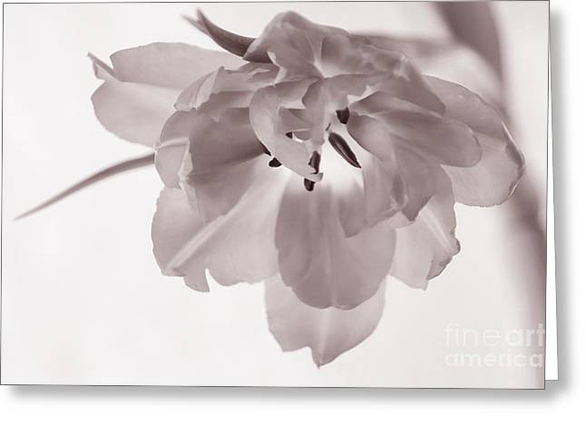 Lilac Tulip Flower Greeting Cards - Tulip  Soft And Grainy Monochrome Greeting Card by Ann Garrett