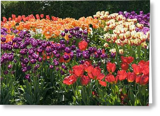 Biological Greeting Cards - Tulip (tulipa Sp.) Borders Greeting Card by Dr Keith Wheeler
