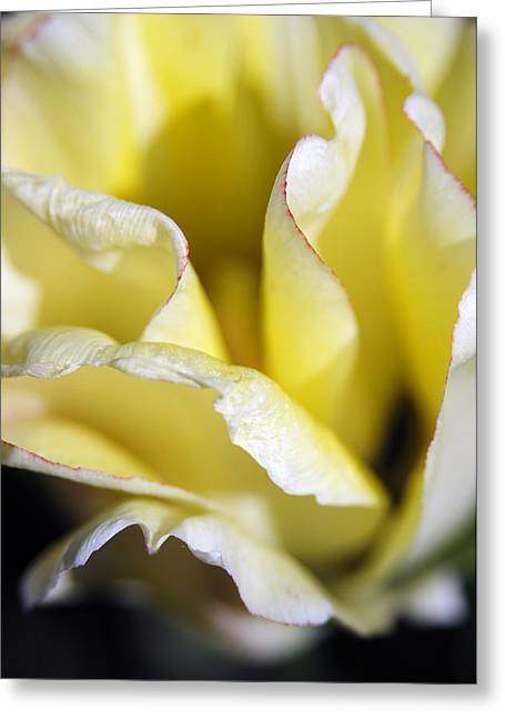 Gentle Petals Greeting Cards - Tulip Unfolding Greeting Card by The Forests Edge Photography - Diane Sandoval