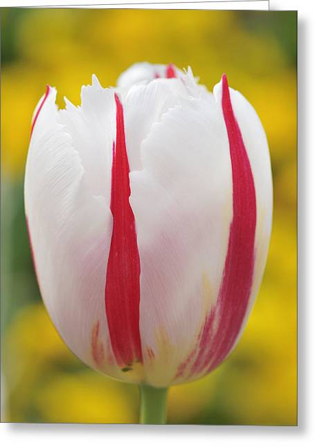 Singly Greeting Cards - Tulip white and red Greeting Card by Matthias Hauser