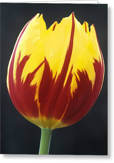Monocotyledon Greeting Cards - Tulipa keizerskroon Flower Greeting Card by Archie Young