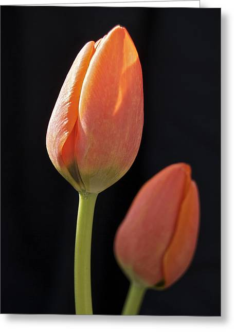 Bold Contrast Greeting Cards - Tulips 2682 Greeting Card by Michael Peychich
