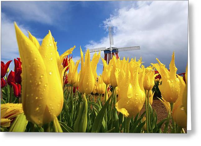 Woodburn Greeting Cards - Tulips In A Field And A Windmill At Greeting Card by Craig Tuttle