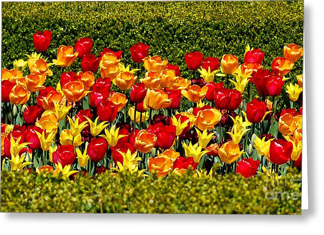 Chicago Botanic Garden Greeting Cards - Tulips Paralleled Greeting Card by Nancy Mueller