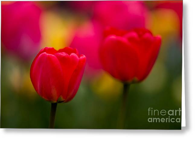 Farbenfroh Greeting Cards - Tulips Greeting Card by Thomas Splietker