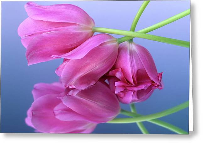 Liliaceae Greeting Cards - Tulips .Tulipa. Greeting Card by Bernard Jaubert