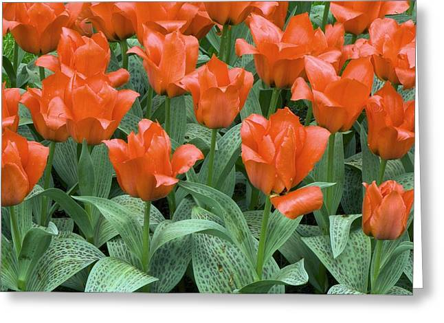 Spring Bulbs Greeting Cards - Tulips (tulipa Greigii growers Pride) Greeting Card by Adrian Thomas
