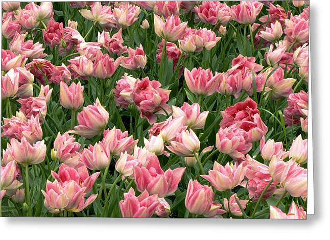 Spring Bulbs Greeting Cards - Tulips (tulipa peach Blossom) Greeting Card by Adrian Thomas