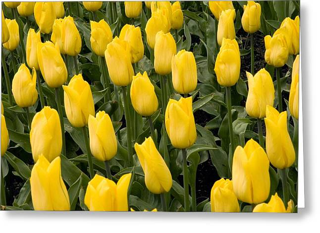 Tulips (tulipa 'strong Gold') Greeting Card by Adrian Thomas
