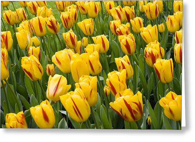 Spring Bulbs Greeting Cards - Tulips (tulipa washington) Greeting Card by Adrian Thomas