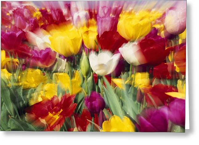 Tulips With Zoom Blur Greeting Card by Natural Selection Craig Tuttle