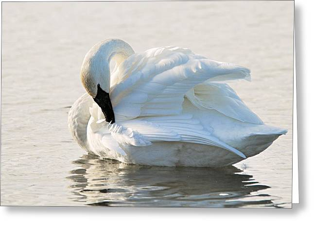 Tumpeter Swan Greeting Card by Larry Ricker