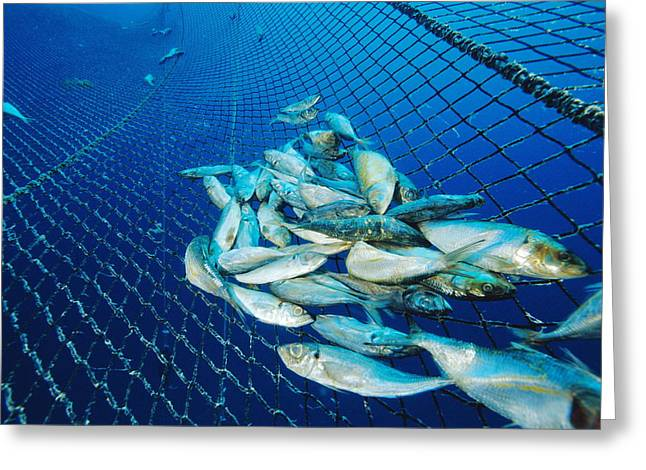 Pisciculture Greeting Cards - Tuna Fish Farm Food Greeting Card by Alexis Rosenfeld