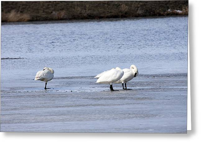 Swans... Greeting Cards - Tundra Swan - 0044 Greeting Card by S and S Photo