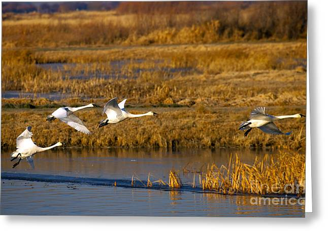 Recently Sold -  - Saw Greeting Cards - Tundra Swan Ballet Greeting Card by Mike  Dawson