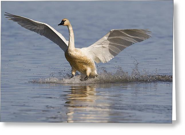 Us Open Photographs Greeting Cards - Tundra Swan Landing Tule Lake National Greeting Card by Sebastian Kennerknecht