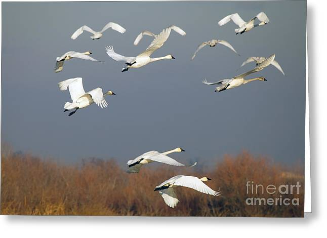 Swans... Greeting Cards - Tundra Swan Takeoff Greeting Card by Mike  Dawson