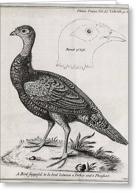 Royal Society Of London Greeting Cards - Turkey-pheasant Cross, 18th Century Greeting Card by Middle Temple Library