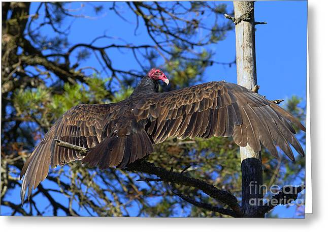Turkey Buzzard Greeting Cards - Turkey Vulture with Wings Spread Greeting Card by Sharon  Talson