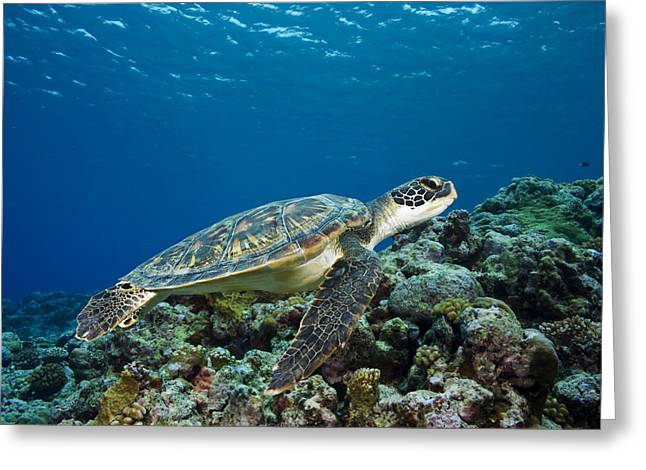 Yap Greeting Cards - Turtle above Reef Greeting Card by Dave Fleetham - Printscapes