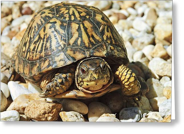 Susan Leggett Greeting Cards - Turtle With Red Eyes on Rocks Greeting Card by Susan Leggett