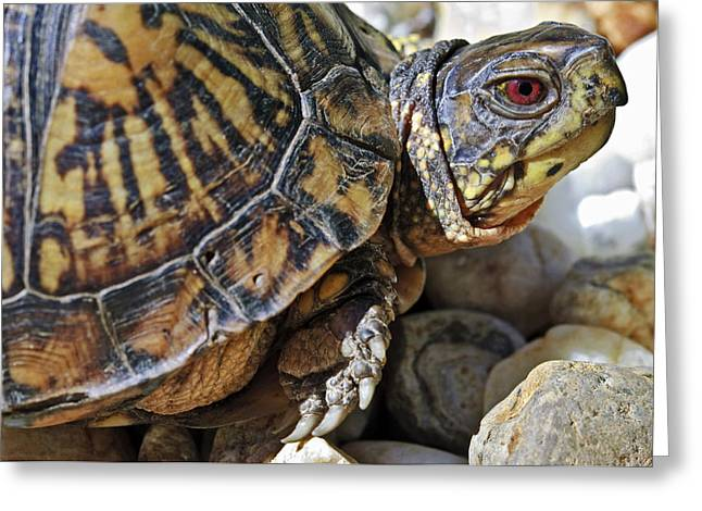 Susan Leggett Greeting Cards - Turtle With Red Eyes Greeting Card by Susan Leggett