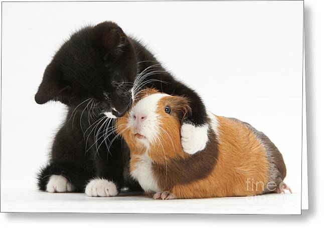 Domestic Pet Portraits.house Cat Greeting Cards - Tuxedo Kitten Hugging Guinea Pig Greeting Card by Mark Taylor