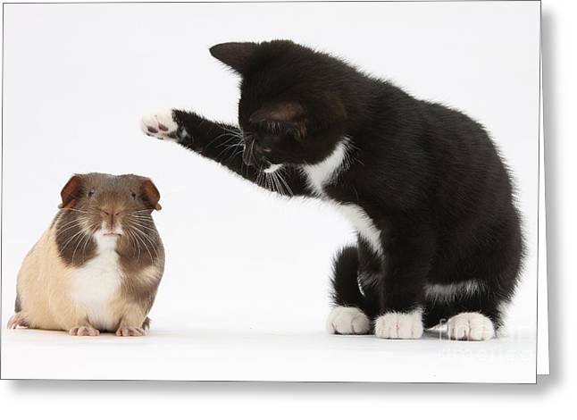 Tuxedo Greeting Cards - Tuxedo Kitten With Guinea Pig Greeting Card by Mark Taylor